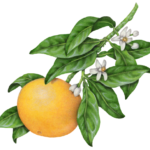 Grapefruit on a branch with blossoms and leaves.