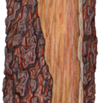 A front view of curled Australian ironbark bark.