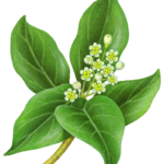 Camphor plant with leaves and flowers.