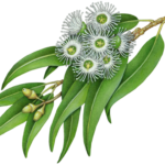 Eucalyptus branch with seven white flowers, three eucalyptus buds and leaves.