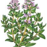 Thyme plant with purple flowers.