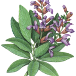 Sage plant with purple flowers