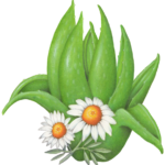 Aloe vera plant with two chamomile flowers.