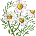 Chamomile plant with four flowers.