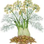 Fennel plant with a stalk, leaves, flowers and a pile of fennel seeds.