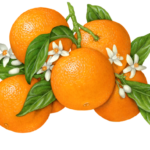 Orange branch with six oranges, nine blossoms or buds, and leaves.