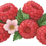 Five raspberries with a pink raspberry blossom and four leaves.