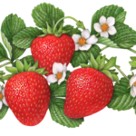 Five strawberries growing with five strawberry flowers and leaves.