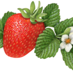 One strawberry with a strawberry flower and a flower bud and leaves.