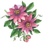 Passion flower branch with two pink passion flowers, flower buds, leaves and vines.