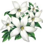 Five jasmine flowers with leaves.