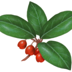 Wintergreen plant with four leaves and four red berries.