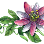 Passion flower branch with one open flower, one bud and leaves.