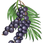 Two strands of acai berries hanging from a palm frond.