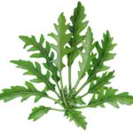 Wild arugula or rocula plant.