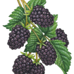 Six blackberries on a branch with leaves.