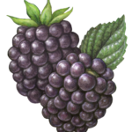 Stock art berry illustration of blackberries.