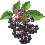 Elder branch with a bunch of elder berries and leaves.
