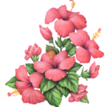 Four pink hibiscus flowers with four pink hibiscus buds.
