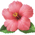A single pink hibiscus with two leaves.