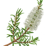 Tea Tree, melaleuca alternifolia, branch with a flower, buds and leaves.