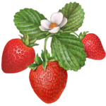 Strawberry plant with three baby strawberries