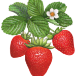 Three strawberries hanging from leaves with a flower.
