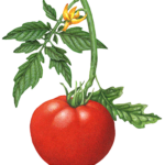 Tomato plant with one whole tomato, leaves and a tomato flower.