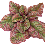 red edged lettuce plant
