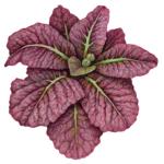 rode amsol lettuce plant