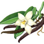 Vanilla orchid with three vanilla beans and two leaves