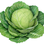 Cabbage head with leaves