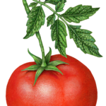 One whole tomato on a branch with tomato leaves.