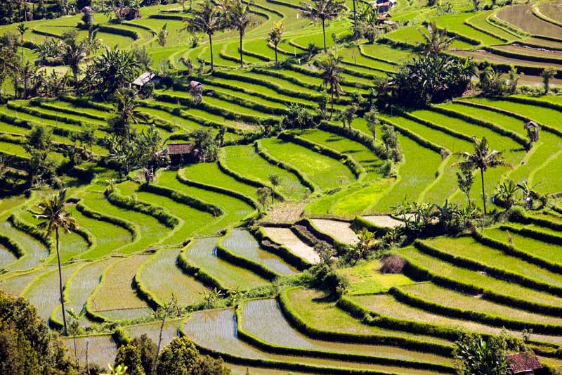Jatiluwih-Rice-paddy-filed-2