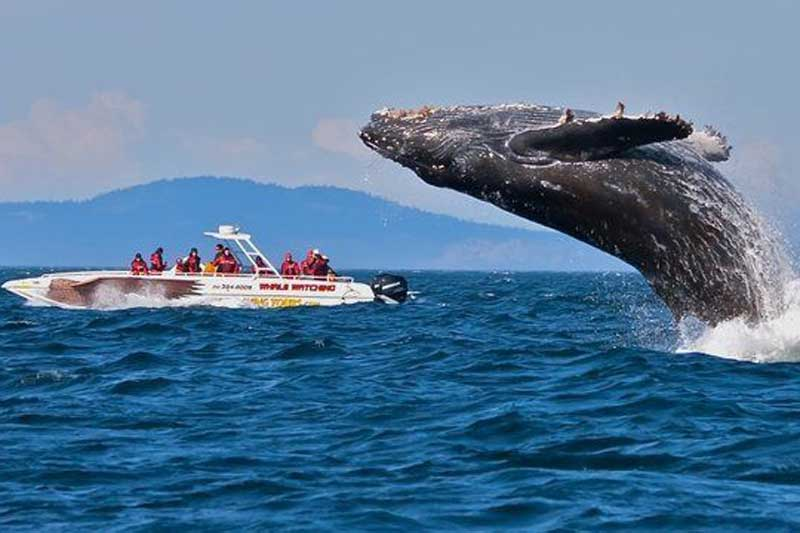 Melbourne-sights-and-Attractions-Whale-Watching-Victoria-in-Victoria