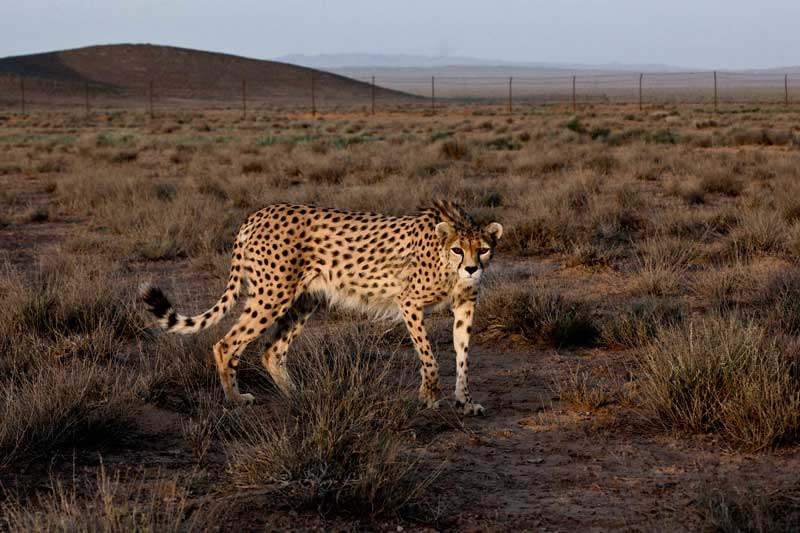 Seven-year-old_male_Asiatic_Cheetah_named_Koushki_Miandasht_Wildlife_Refuge_Jajarm_northeastern_Iran_May-26-2014