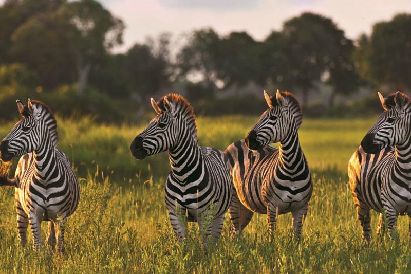 zebra-botswana-safari