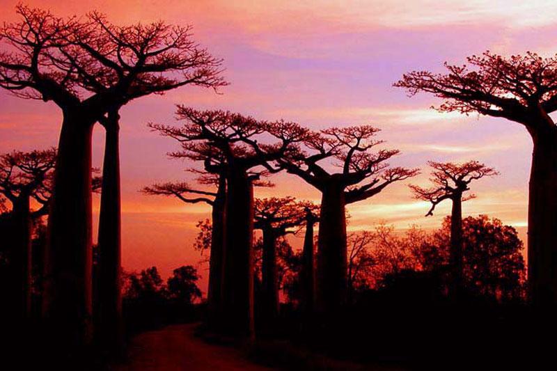 madagascar-baobab-1