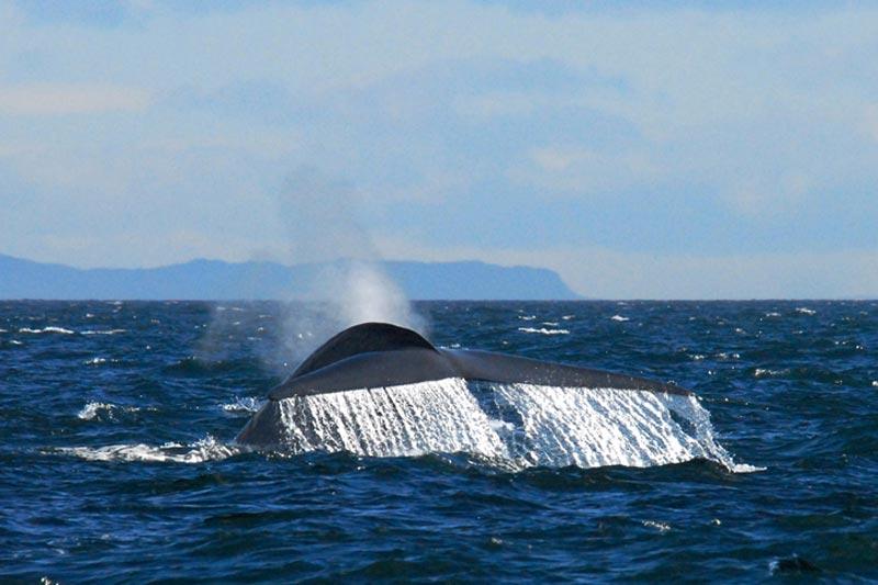 Blue-Whale-Tail