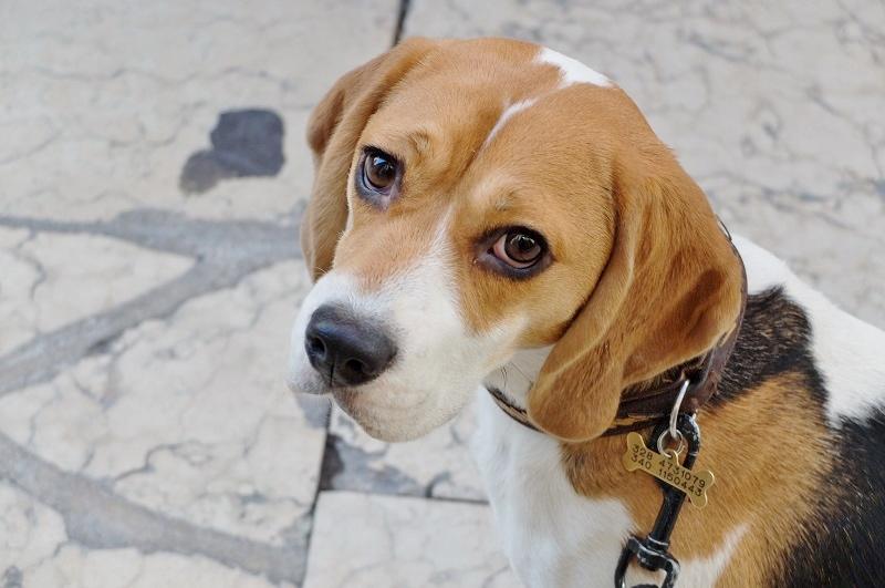 Ginger, a happy brooding artdog