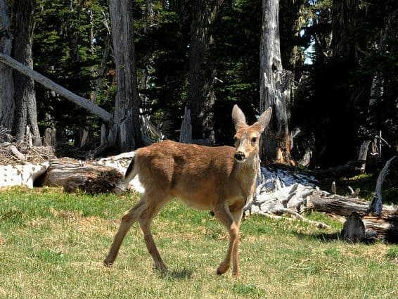 Young deer photographed during Mount Rainier tour