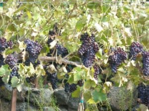wineries_grapes_20910048089_o