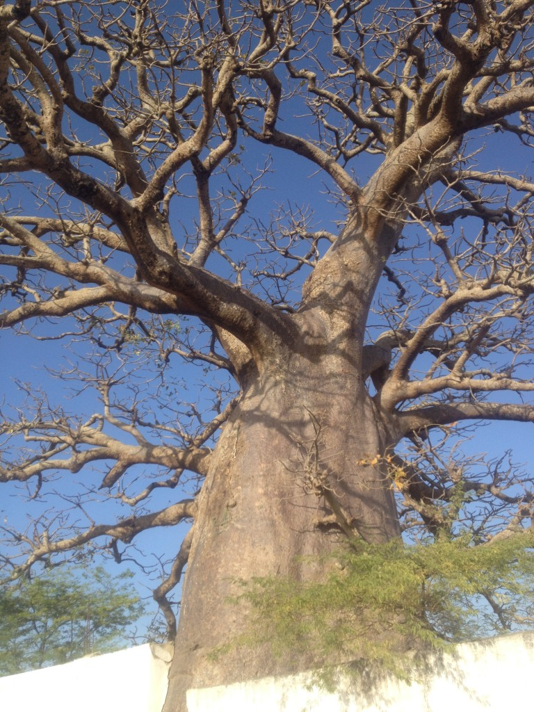The majestic and ancient Baobab