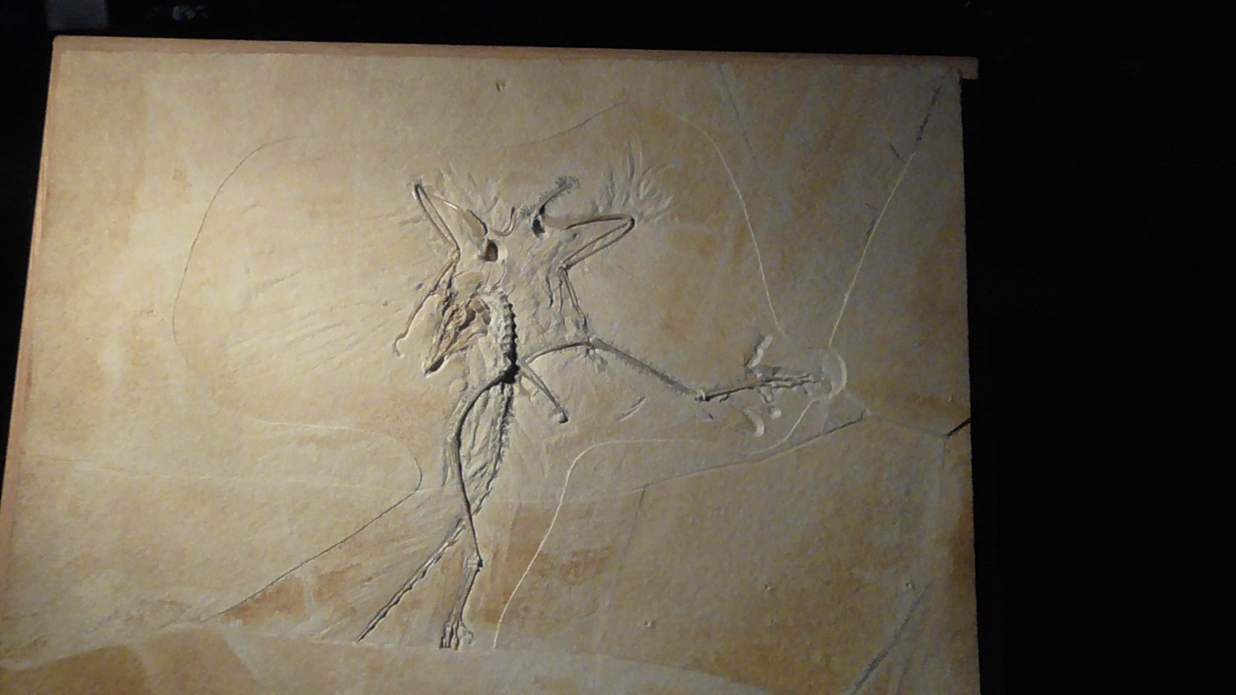 Archaeopteryx - actual fossil