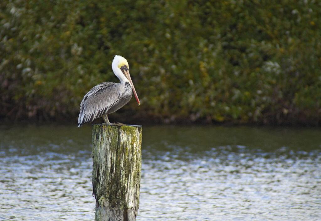 Brown Pelican on Post