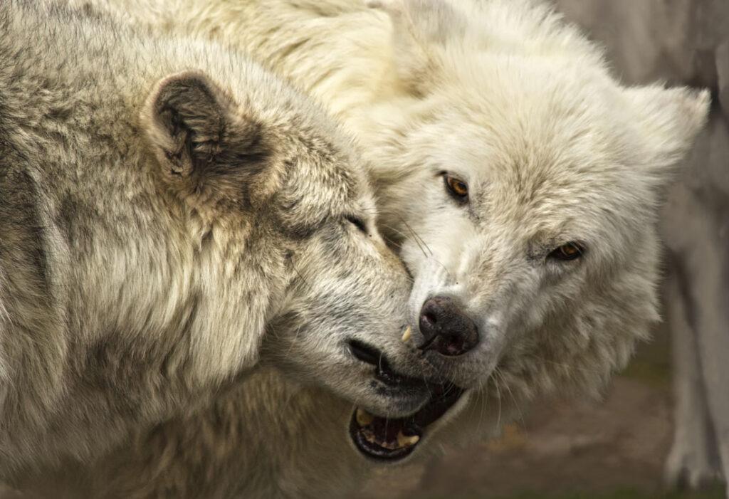Kissing Wolves II