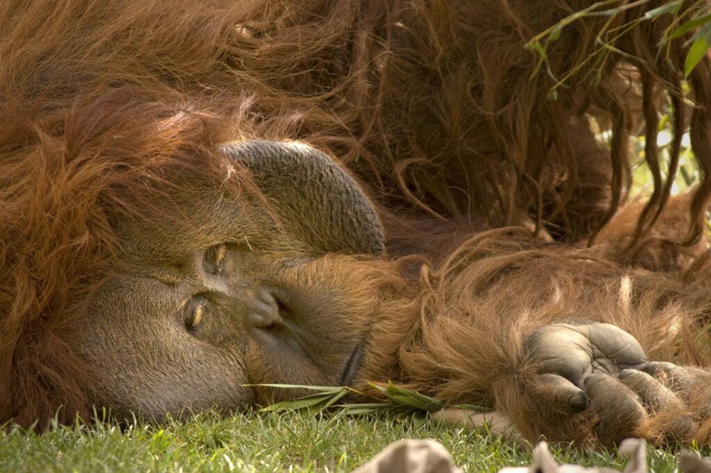 Sumatran Orangutan Male Sleeping