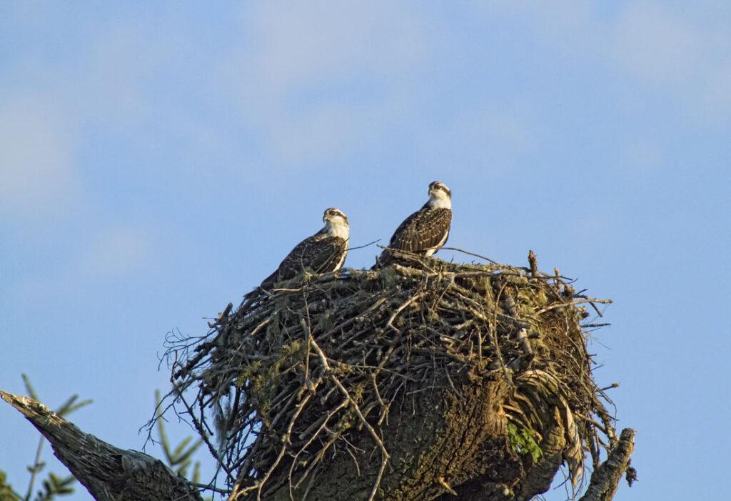 Osprey Chicks