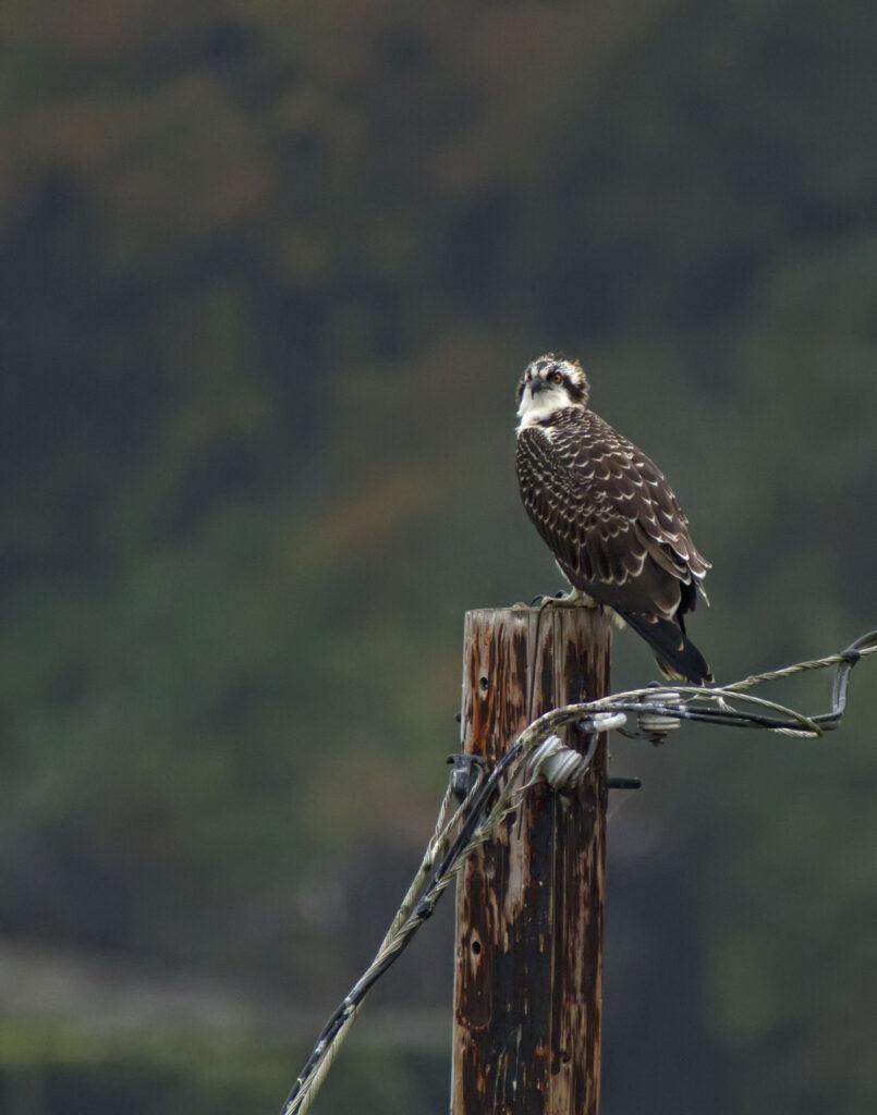 Osprey Fledging