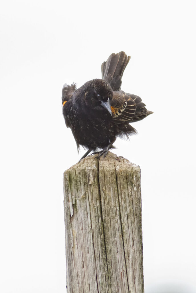 Red-winged Blackbird juvenile